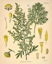 Artemisia botanicalcom