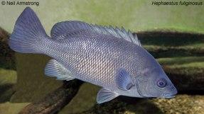 Hephaesuts fishesofaustralianetau