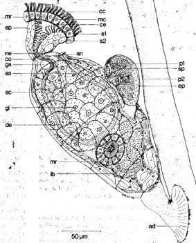 Cycliophora