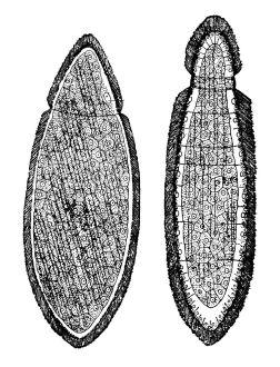 orthonectida eol