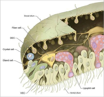 structure of a placozoan, Smith et al