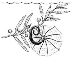 Spiroceras in kelp